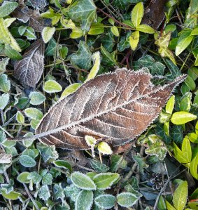 frosted leaf in the sun