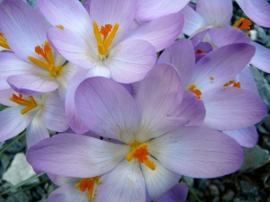 crocuses close up
