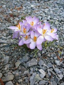 crocuses in the gravel