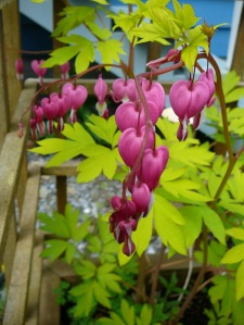 bleeding heart backyard