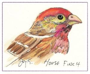 bird-drawing-house-finch